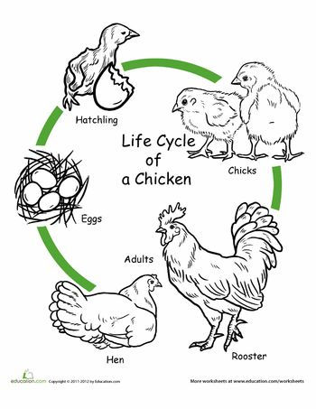 Worksheets: Color the Life Cycle: Chicken