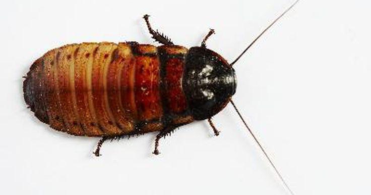 El ácido bórico como insecticida. El ácido bórico viene del borato, un elemento más comúnmente encontrado cerca de Death Valley, California. Es similar al bórax, que es combinado con el borato de sodio. El ácido bórico es un insecticida eficaz que es relativamente no tóxico para los seres humanos.