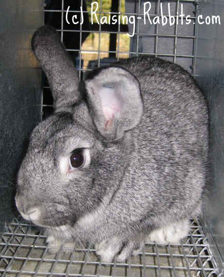 Chinchilla - StandardStandard Chinchilla Rabbit Breed        Senior Weight: 5 - 7 ½ pounds      Type: Compact      Color: Resembling the chinchilla - black and white banded hair shafts      Distinctive: Color