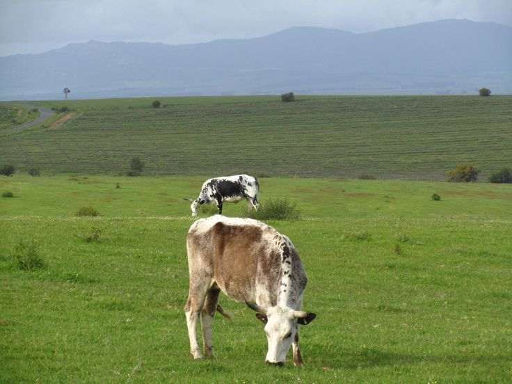Beautiful country setting en-route to an area called Philadelphia.   #Nguni #Country #WestCoast #Swartland