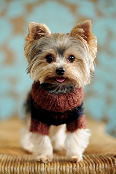 Yorkshire Terrier in a cutie sweater: All ready for Winter now!