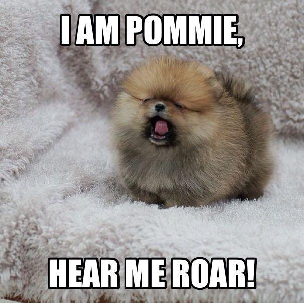 https://www.facebook.com/snoop.pomeranian #pomeranian #pomeranianmeme