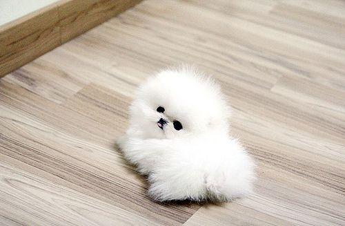 White Tea Cup Pomeranian White Teacup Pomeranian Pom