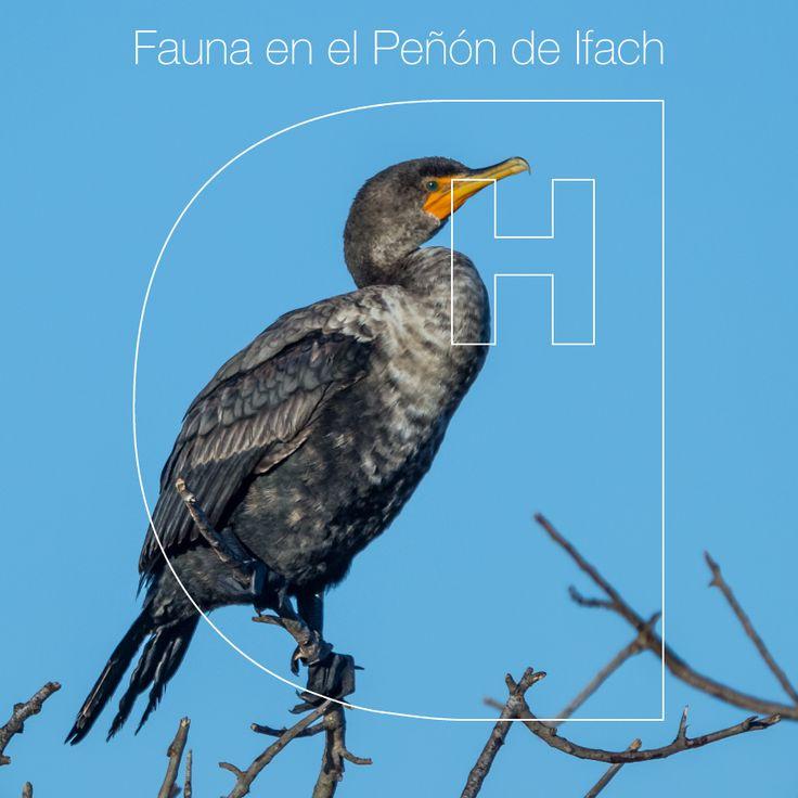 ¿Conoces el pájaro #CormoránMoñudo? Es una especie de ave que con un largo cuello llega a medir hasta unos 78 cm. Es un #ave que podemos encontrar en nuestro Parque Natural del Peñón de Ifach. #Colina #ColinaResort #Fauna #Calpe