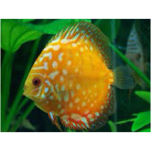 Best 25 exotic fish ideas on pinterest pretty fish for Exotic pet fish
