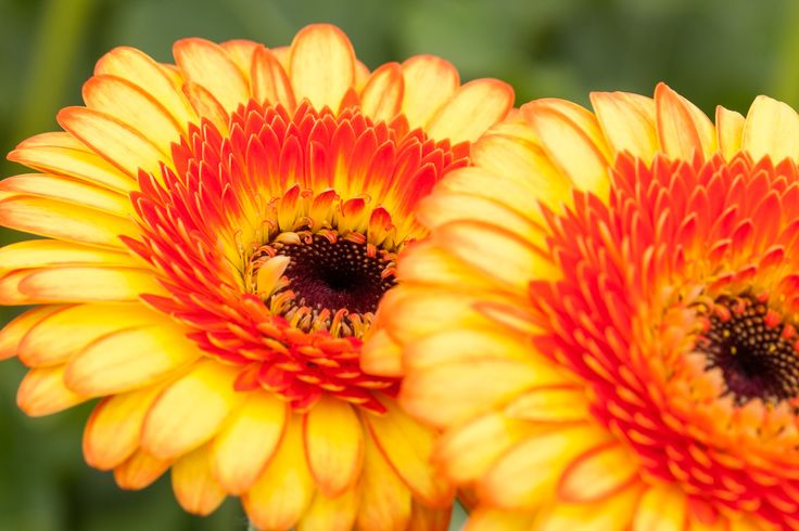 Mini gerbera Decora is really a good one. This flower is a true eye catcher