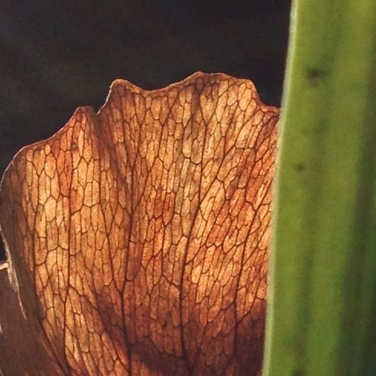 Stag-horn Fern texture.  myaustraliangardenartresidency