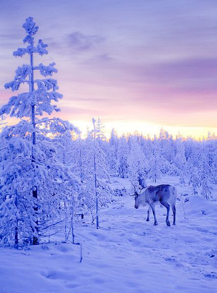 Another beautiful photo of Lapland, Finland - snow covered trees and a reindeer, not to mention that gorgeous sky!