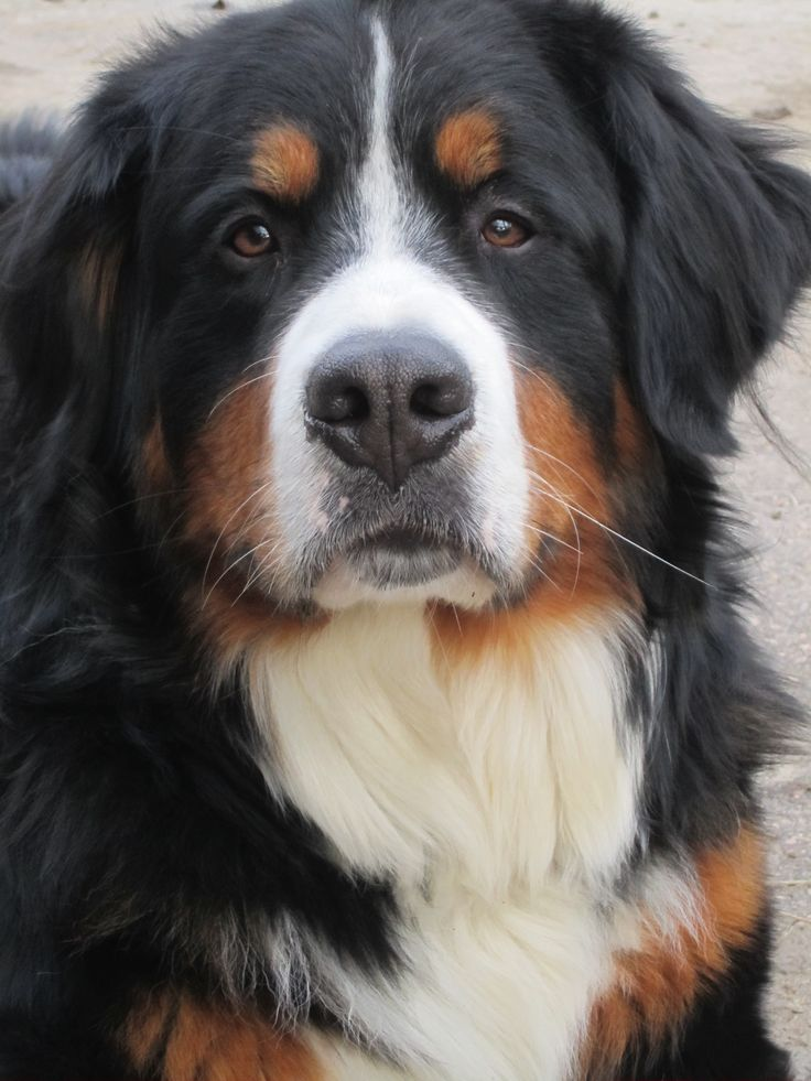 192 best bernese mountain dogs images on pinterest bernese mountain dogs pets and doggies. Black Bedroom Furniture Sets. Home Design Ideas