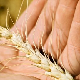 Germe di grano nella dieta  Stai guardando: Soffri di ipotiroidismo? 8 consigli per migliorare la dieta