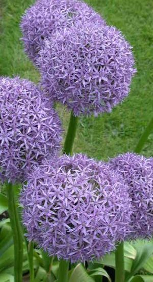 ALLIUM  – so not native but I might not be able to resist it in the drive mixed with grasses