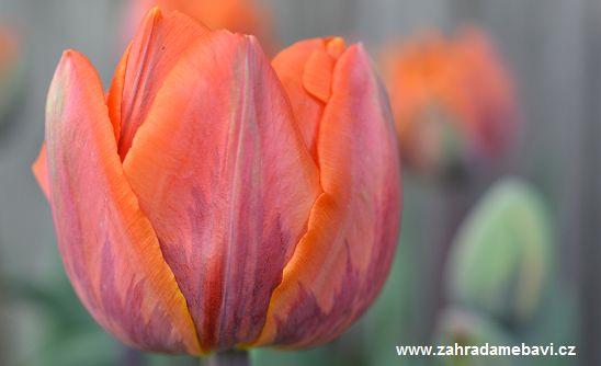 Tulip ´Orange Princess´