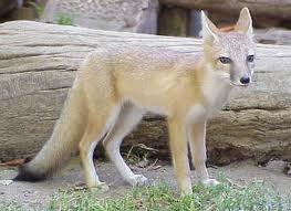 Swift Fox (Vulpes velox)