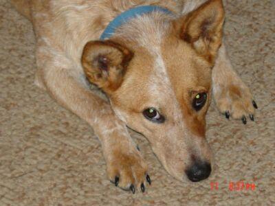 AuCaDo Australian Cattle Dog Rescue Michigan