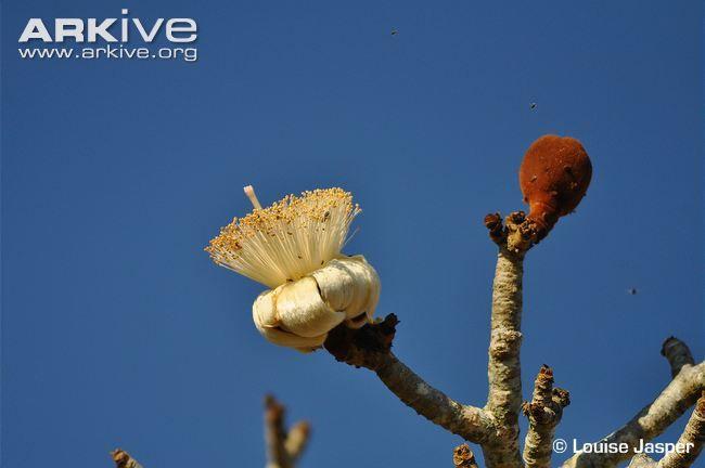 flower of Grandidier's baobab (Adansonia grandidieri), via arkive.org