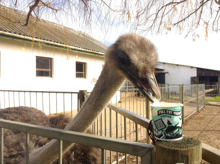 Kuku the resident at Fairview ostrich also seems to have taken a liking to our New yoghurt. One more follower of the full fat revolution! For more info on this delicious healthy snack visit: www.fairview.co.za/fairview-launches-revolutionary-natural-yoghurt/ #FairviewFamily #FairviewYoghurt