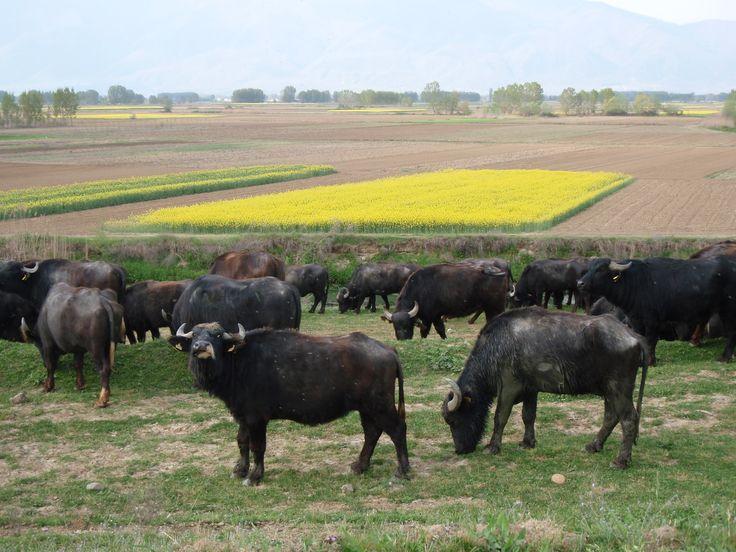Buffalos at Kerkini Lake, Serres