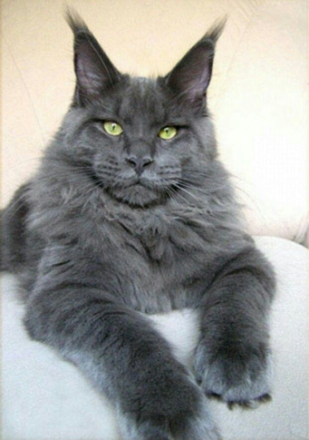 Meyn-cun   CATS   Pinterest   Cats, Maine Coon and Maine coon cats