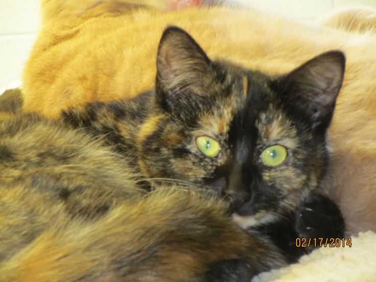 This is Kimmie. She is a 1.5 year old torti.