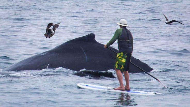 SURPRISE. Cet homme, qui faisait tranquillement du stand up paddle (planche à rame), dans la baie de Monterey en Californie, se souviendra longtemps de cette sortie en mer. Et pour cause: il a rencontré une baleine très rare. Mais, malgré l'émerveillement, mieux vaut ne pas s'approcher trop près. L'énorme cétacé, capable de manœuvres rapides, est potentiellement dangereux.