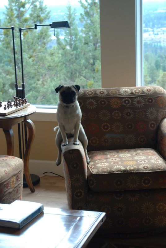 one talented pug: Dogs, Pug Life, Funny Pugs, Chairs, Cute Pugs, In Cowgirl, Animal