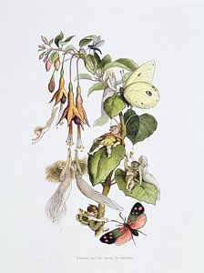 Springtime Drawing - Feasting And Fun Among The Fuschias by Richard Doyle