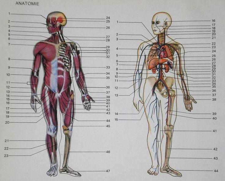31 besten Anatomy of The Human Body System Bilder auf Pinterest ...