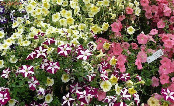Petúnie si předpěstujte ze semen. Je to bezpečnější než řízkování