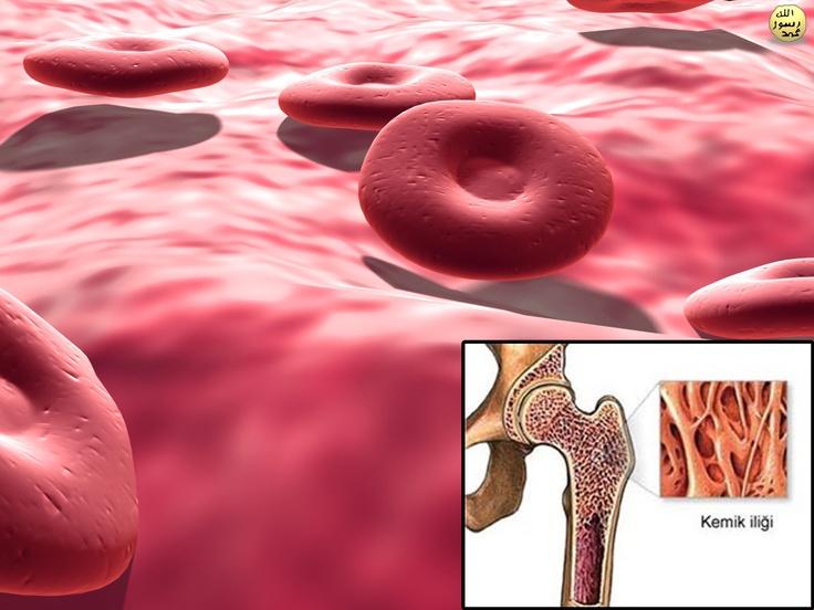 Kırmızı kan hücreleri vücuttaki en büyük kemiklerin süngerimsi dokularında yani iliklerinde bulunan kök hücreler tarafından üretilirler. Tek bir alyuvar hücresi, 4 aylık ömrünü tamamlayıp kemik iliğine geri dönene kadar akciğerler ve diğer vücut dokuları arasında 75.000 tam devir yapar.