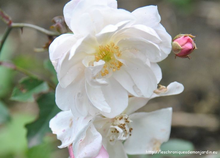 168 best roses 9 images on pinterest | rose photos, flowers and php