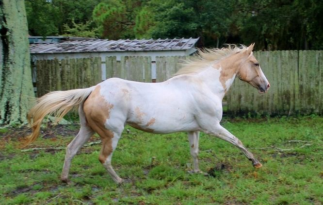 Beautiful Registered Paint Horse for sale