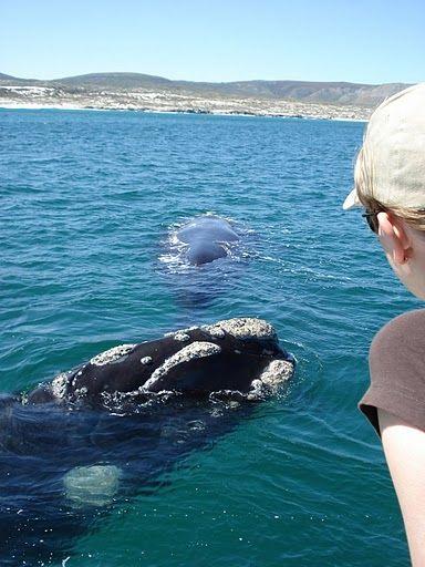 Aan de Tuinroute kun je bij het plaatsje Knysna een stop inplannen voor wel een heel speciale trip. Je kunt hier namelijk walvissen spotten!