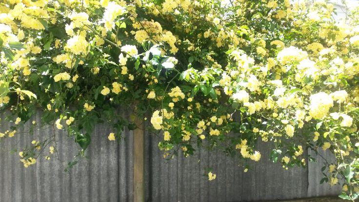 our neighbours beautiful rambling rose.....