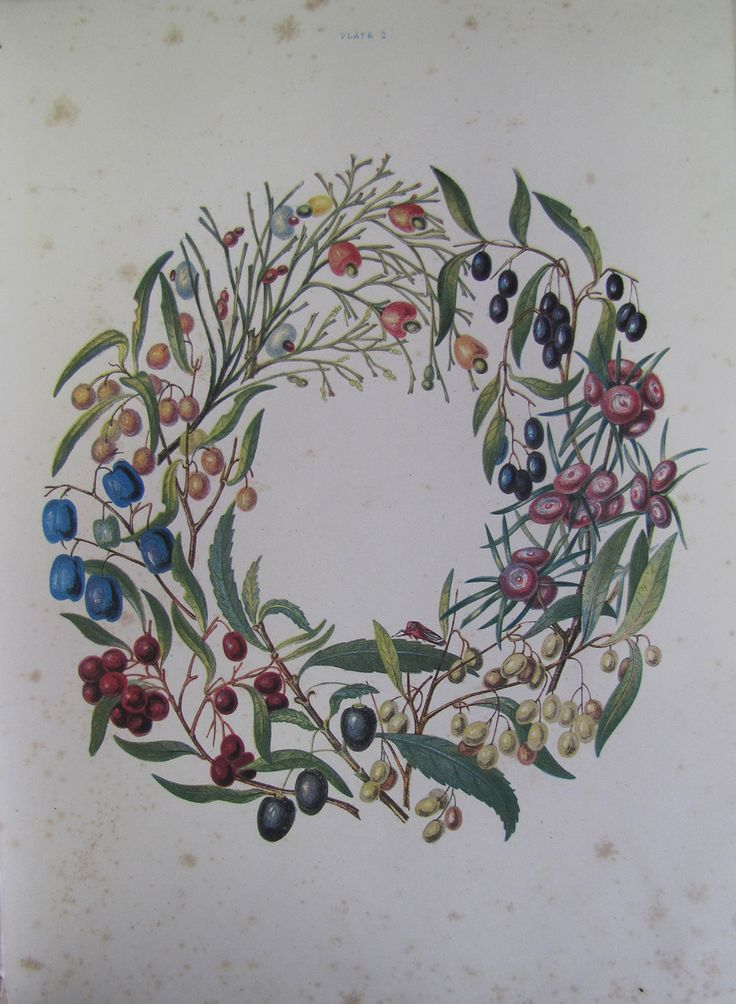 "wreath of berries illustration from Louisa Anne Meredith's ""Some of my bush friends in Tasmania : native flowers, berries, and insects, drawn from life, illustrated in verse, and briefly described"" (c1860)"