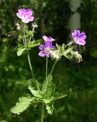 Metsäkurjenpolvi, Geranium sylvaticum - Kukkakasvit - LuontoPortti