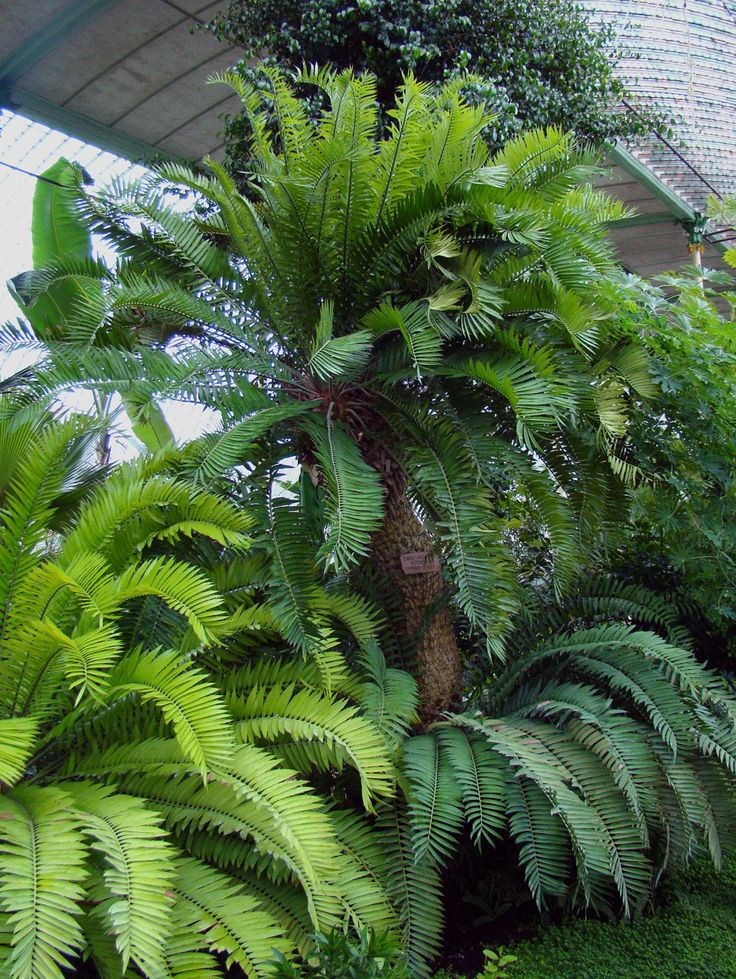 Encephalartos altensteinii - a palm-like cycad [Order: Cycadales; Family: Zamiaceae] - The oldest European cycad in Lednice Greenhouse, Czech Republic.