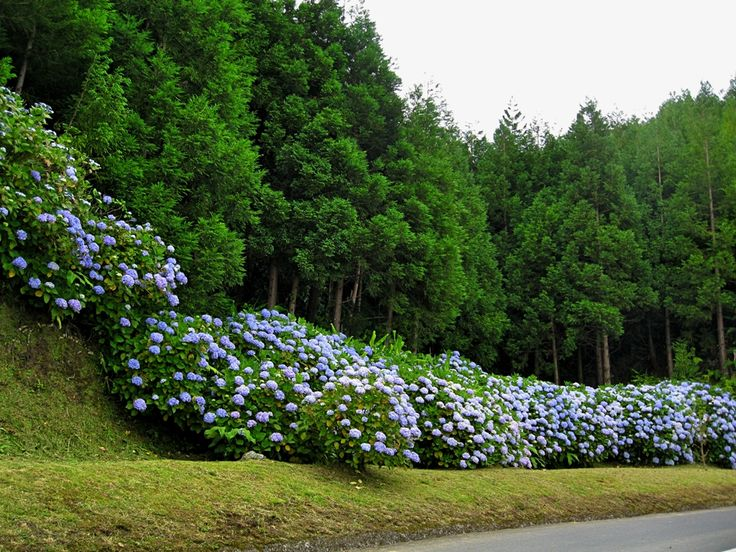 hydrangeas in the Azores