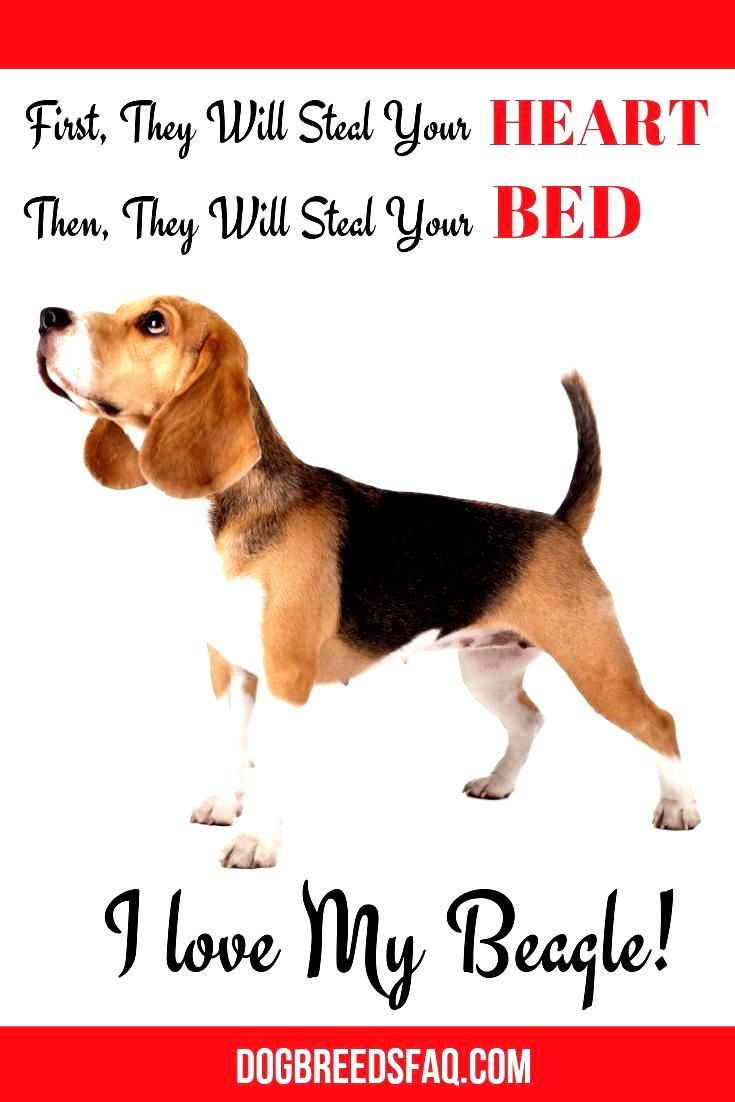 Beagle In 2020 Popular Breeds Dogs Breeds
