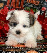 Shorkie | Puppies for Sale