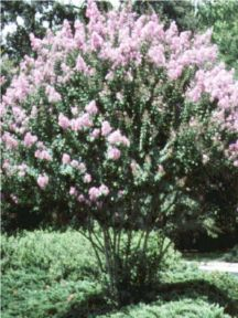 Crepe Myrtle Landscaping Front Yards Curb Appeal
