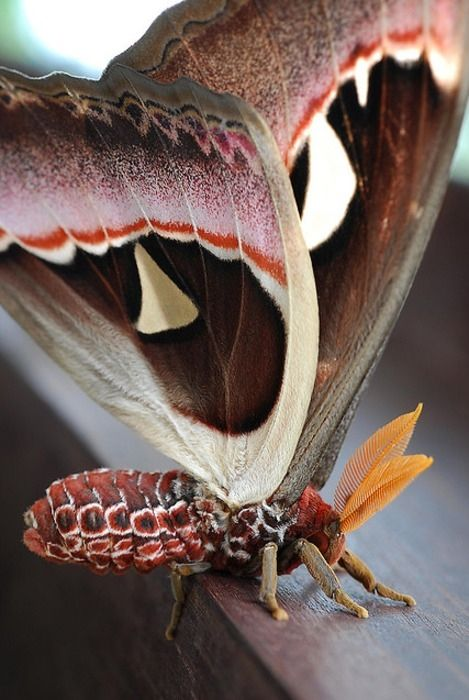 Atlas Moth... One way to tell the difference between a moth and a butterfly, is that a moth's antennae are feathered and a butterfly's antennae are smooth with a bulb at the tip.