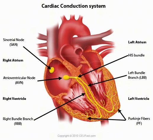 16 best conduction system of the heart images on pinterest nursing this ecg interpretation course will show how to identify normal versus abnormal cardiac anatomy cardiac cycle and electrical conduction through the heart ccuart Choice Image
