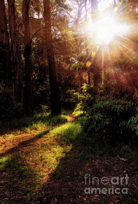 An Autumn sunset in bush land in the north of Sydney. The sun has formed a starburst as it goes down between the trees, casting light in its vacant path, and shadows behind some of the plants and trees. It is as if it has illuminated the pathway for me to find my way. #Autumn #Sunburst and #Shadows by #Kaye_Menner #Photography Quality Prints Cards Products with a money-back guarantee at: https://kaye-menner.pixels.com/featured/autumn-sunburst-and-shadows-by-kaye-menner-kaye-menner.html