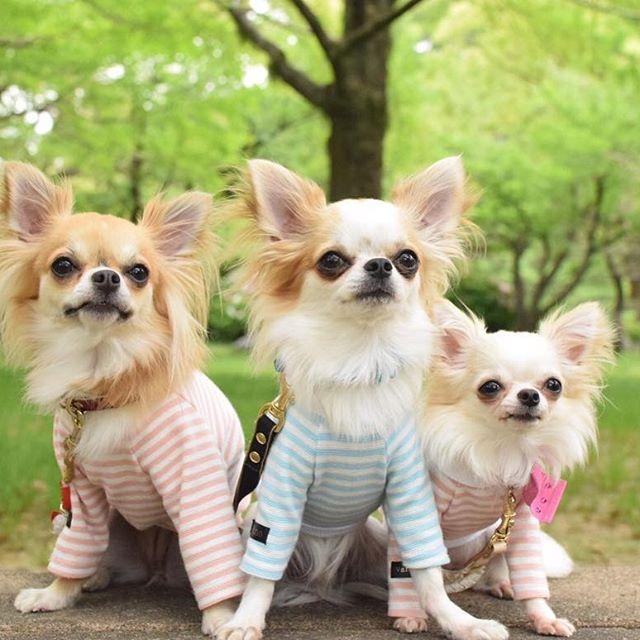 @hiro.t51 さん家の、モナカちゃんピノくんバニラちゃんから素敵な着画頂きました♡ ・ ・ こちらはオリジナルオーダーで作成させて頂いたお洋服です☺︎ ・ ・ ・ ・ ※ネットショップはトップから飛べます。 ・ ・ LINE公式アカウント 【ID】@hpp0817h 直接販売やクーポンなど配信中♡ ・ ・ ・ #犬服#犬服ハンドメイド#蝶ネクタイ#チワワ#迷子札#犬バカ部#トイプードル#トイプー#ダックスフンド#ミニチュアダックス#ポメラニアン#パピヨン#愛犬#愛犬家#今日のわんこ#いぬら部#わんこなしでは生きて行けません会#モデル犬#イケワン#クールバンダナ#麦わら帽子#マナーポーチ#マナーベルト#ハンドメイド犬服#殺処分ゼロ#チャリティーTシャツ#犬用マフラー#カフェマット#麦わら帽子 ⚠️petitchien完全オリジナルデザインです。デザインの模造、模造品の販売はご遠慮下さい⚠️