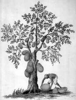 how to eat fresh jackfruit