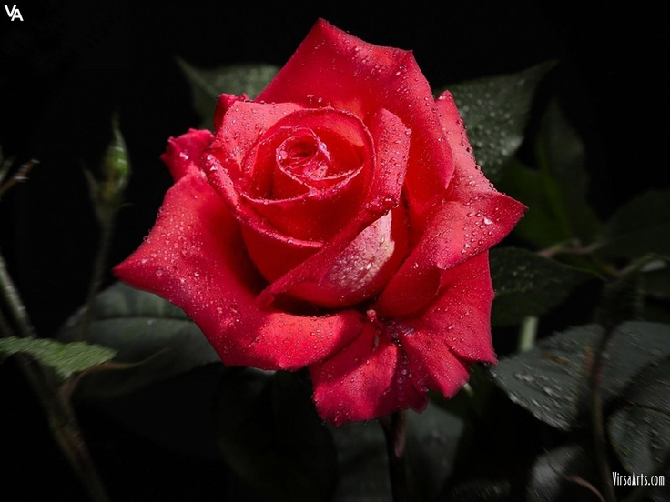 Rose for your loved Ones