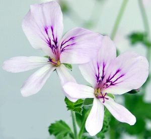 Lemon Scented Geranium Flowers. Lemon Crispum is one of the most often used Scented Geraniums for cooking. Most often it is used to scent icing sugar.                                                                                                                                                                                 More