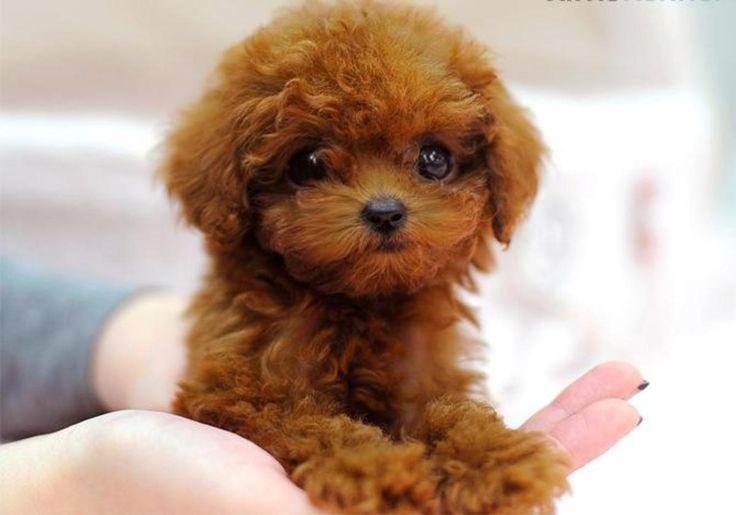 micro teacup poodle - Google Search