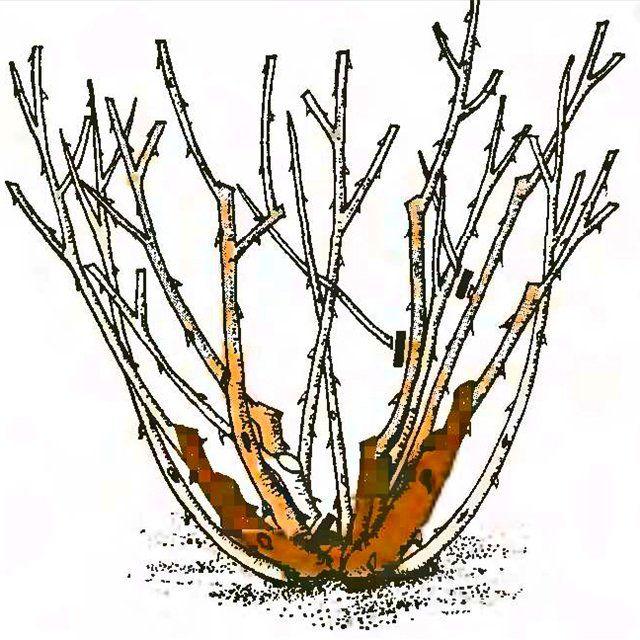 Рис. 6. Обрезка роз флорибунда