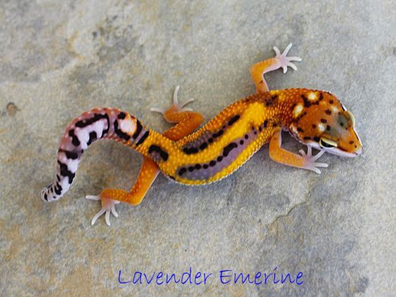 Image result for lavender emerine leopard gecko